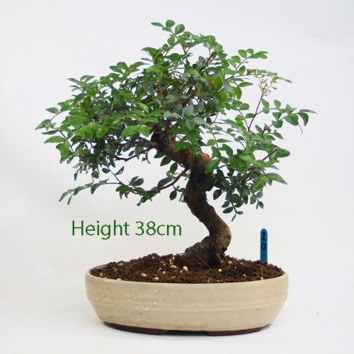 Pistachio Bonsai Tree Number 20 available to buy online from All Things Bonsai Sheffield Yorkshire with free UK delivery