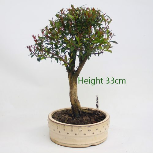 Syzygium Flowering Bonsai Tree Number 324 available to buy online from All Things Bonsai Sheffield Yorkshire with free UK delivery