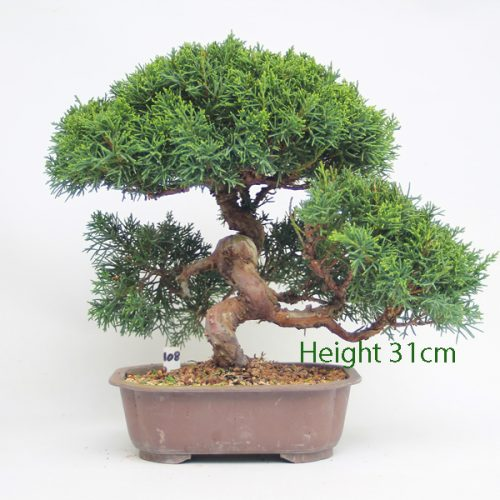Chinese Juniper Bonsai Tree Number 108 available to buy online from All Things Bonsai Sheffield Yorkshire with free UK delivery