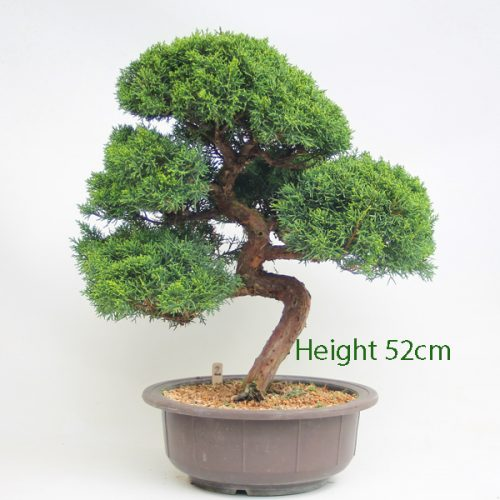 Chinese Juniper Bonsai Tree Number 2 available to buy online from All Things Bonsai Sheffield Yorkshire