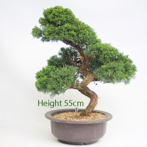Chinese Juniper Bonsai Tree Number 58 available to buy online from All Things Bonsai Sheffield Yorkshire