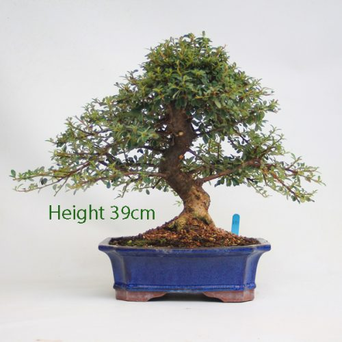 Cotoneaster Flowering Bonsai Tree Number 100 available to buy online from All Things Bonsai Sheffield Yorkshire with free UK delivery