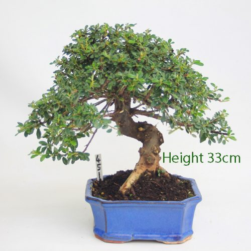 Cotoneaster Flowering Bonsai Tree Number 451 available to buy online from All Things Bonsai Sheffield Yorkshire with free UK delivery