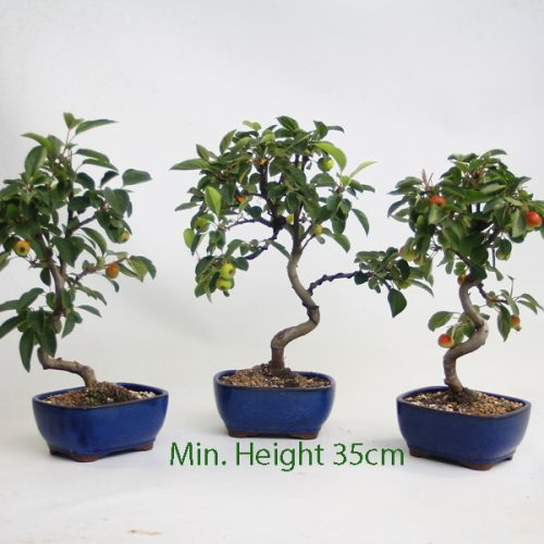 Crab Apple Flowering Part Trained Bonsai Tree available to buy online from All Things Bonsai Sheffield Yorkshire with free UK delivery