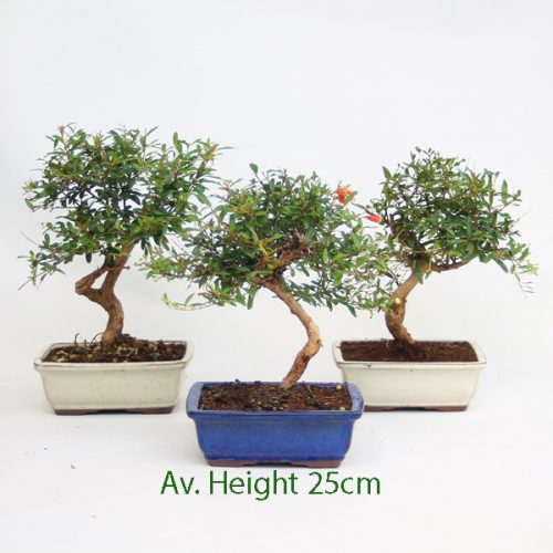 Mini Pomegranate Flowering Bonsai Tree available to buy online from All Things Bonsai Sheffield Yorkshire with free UK delivery