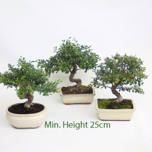 Cotoneaster Flowering Bonsai Tree available to buy online from All Things Bonsai Sheffield Yorkshire with free UK delivery