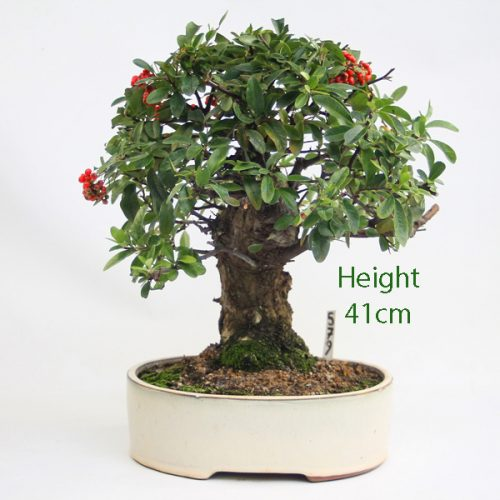 Pyracantha Flowering Bonsai Tree Number 579 available to buy online from All Things Bonsai Sheffield Yorkshire with free UK delivery