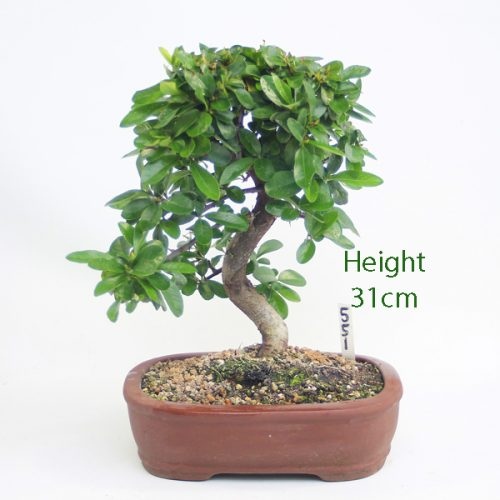 Pyracantha Flowering Bonsai Tree Number 551 available to buy online from All Things Bonsai Sheffield Yorkshire with free UK delivery