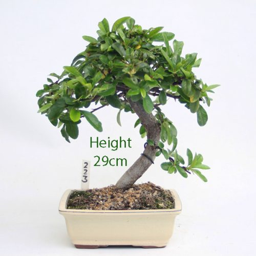 Pyracantha Flowering Bonsai Tree Number 223 available to buy online from All Things Bonsai Sheffield Yorkshire with free UK delivery