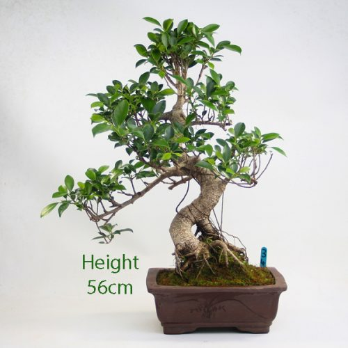 Ficus Indoor Bonsai Tree Number 34 available to buy online from All Things Bonsai Sheffield Yorkshire with free UK delivery