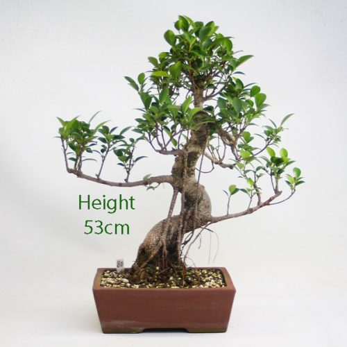 Ficus Indoor Bonsai Tree Number 80 available to buy online from All Things Bonsai Sheffield Yorkshire with free UK delivery