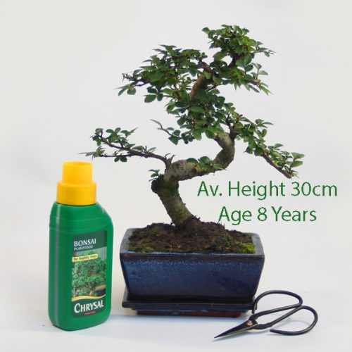 8 Year Old Superior Quality Chinese Elm Indoor Bonsai Tree Gift Set available to buy online from All Things Bonsai Sheffield Yorkshire with free UK delivery