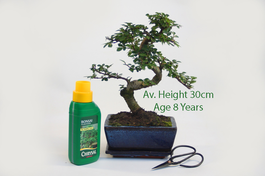 8 Year Old Superior Quality Chinese Elm Indoor Bonsai Tree Gift Set All Things Bonsai