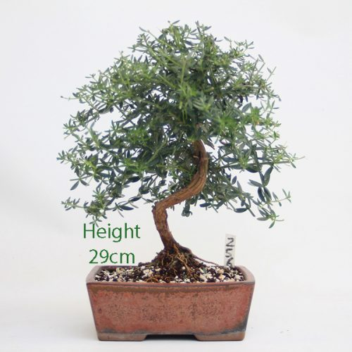 Westringea Flowering Bonsai Tree Number 256 available to buy online from All Things Bonsai Sheffield Yorkshire with free UK delivery