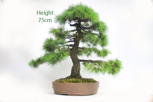 Japanese White Pine Bonsai Tree Unglazed Drum Pot available to buy from All Things Bonsai Sheffield Yorkshire