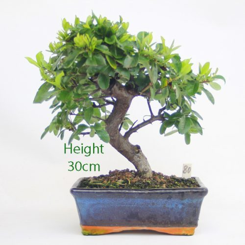 Pyracantha Flowering Bonsai Tree 80 available to buy online from All Things Bonsai Sheffield Yorkshire with free UK delivery