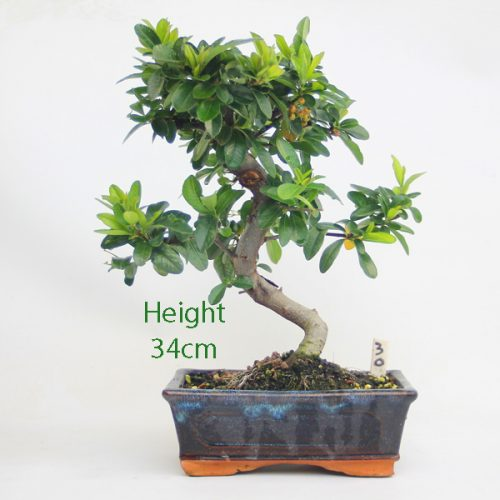Pyracantha Flowering Bonsai Tree 30 available to buy online from All Things Bonsai Sheffield Yorkshire with free UK delivery