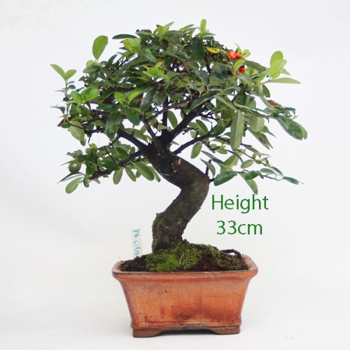 Pyracantha Flowering Bonsai Tree 705 available to buy online from All Things Bonsai Sheffield Yorkshire with free UK delivery