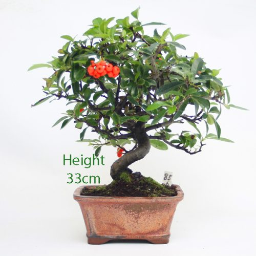 Pyracantha Flowering Bonsai Tree 85 available to buy online from All Things Bonsai Sheffield Yorkshire with free UK delivery