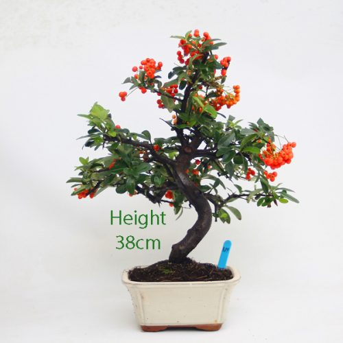 Pyracantha Flowering Bonsai Tree 109 available to buy online from All Things Bonsai Sheffield Yorkshire with free UK delivery