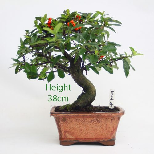 Pyracantha Flowering Bonsai Tree 524 available to buy online from All Things Bonsai Sheffield Yorkshire with free UK delivery