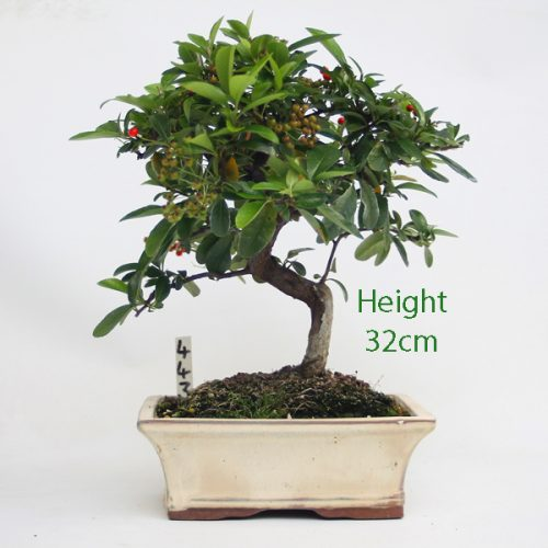 Pyracantha Flowering Bonsai Tree 443 available to buy online from All Things Bonsai Sheffield Yorkshire with free UK delivery