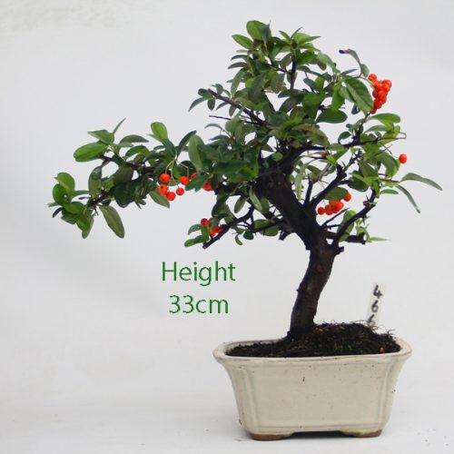 Pyracantha Flowering Bonsai Tree 466 available to buy online from All Things Bonsai Sheffield Yorkshire with free UK delivery