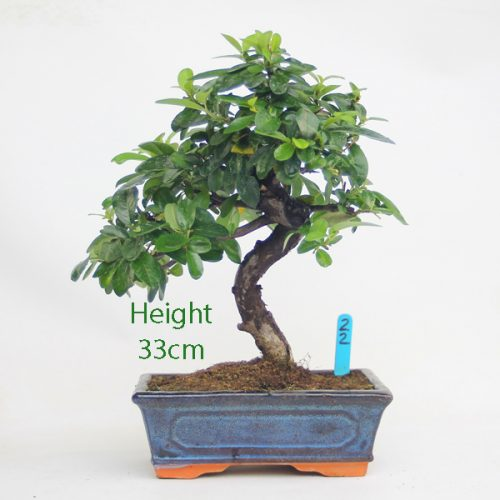 Pyracantha Flowering Bonsai Tree 22 available to buy online from All Things Bonsai Sheffield Yorkshire with free UK delivery