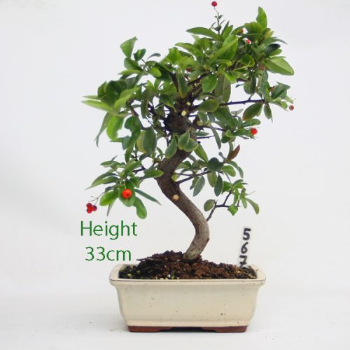 Pyracantha Flowering Bonsai Tree 567 available to buy online from All Things Bonsai Sheffield Yorkshire with free UK delivery