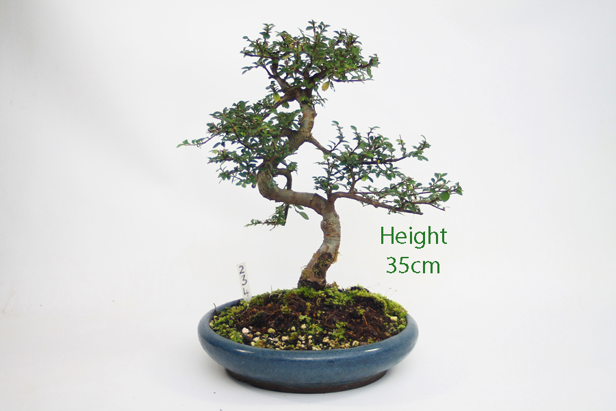 how to look after a bonsai tree