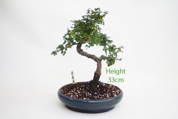 Chinese Elm Bonsai Tree Number 646 available to buy online from All Things Bonsai Sheffield Yorkshire with free UK delivery