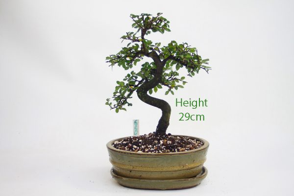 Chinese Elm Bonsai Tree Number 660 available to buy online from All Things Bonsai Sheffield Yorkshire with free UK delivery