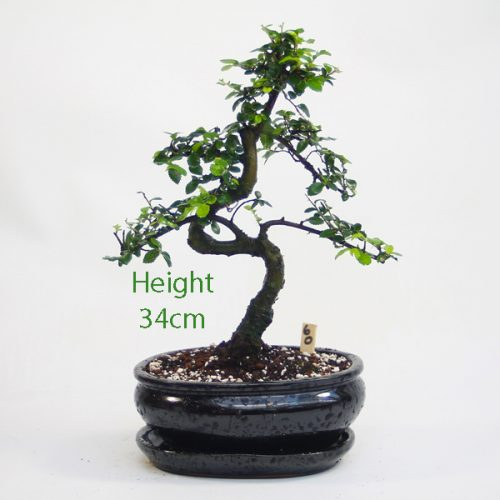 Chinese Elm Bonsai Tree Number 60 available to buy online from All Things Bonsai Sheffield Yorkshire with free UK delivery