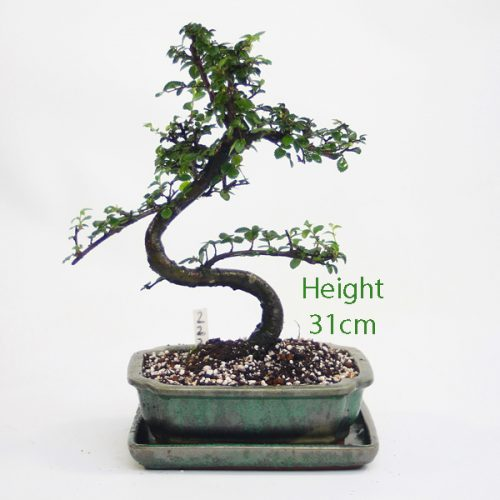 Chinese Elm Bonsai Tree Number 222 available to buy online from All Things Bonsai Sheffield Yorkshire with free UK delivery