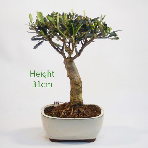 Olive Bonsai Tree Number 107 available to buy online from All Things Bonsai Sheffield Yorkshire with free UK delivery