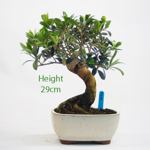 Olive Bonsai Tree Number 23 available to buy online from All Things Bonsai Sheffield Yorkshire with free UK delivery