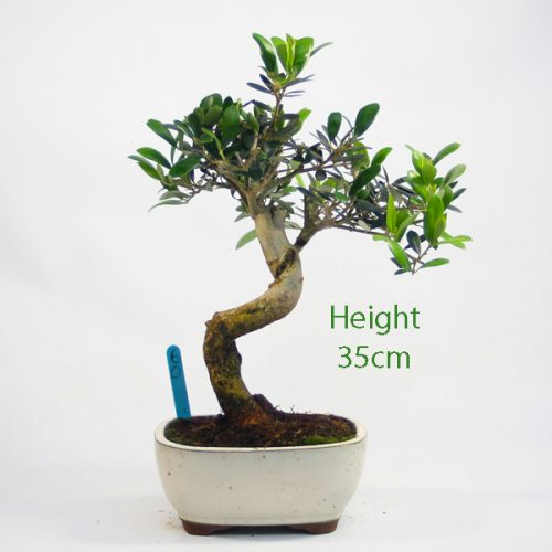 Olive Bonsai Tree Number 60 available to buy online from All Things Bonsai Sheffield Yorkshire with free UK delivery