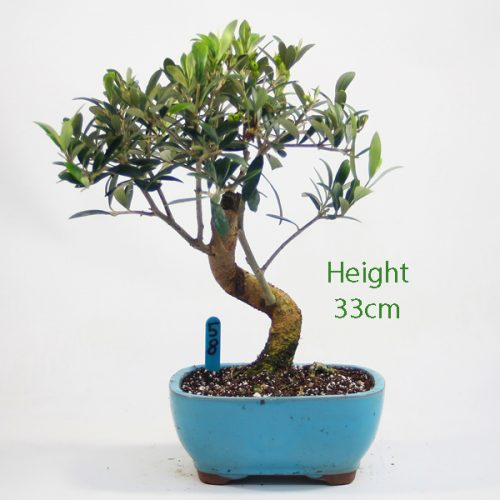 Olive Bonsai Tree Number 58 available to buy online from All Things Bonsai Sheffield Yorkshire with free UK delivery