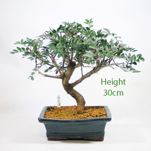 Pistachio Bonsai Tree Number 607 available to buy online from All Things Bonsai Sheffield Yorkshire with free UK delivery