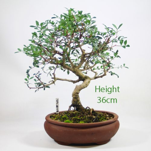 Pistachio Bonsai Tree Number 542 available to buy online from All Things Bonsai Sheffield Yorkshire with free UK delivery