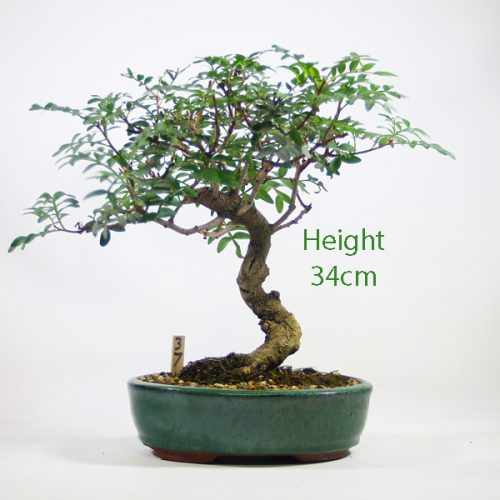 Pistachio Bonsai Tree Number 37 available to buy online from All Things Bonsai Sheffield Yorkshire with free UK delivery