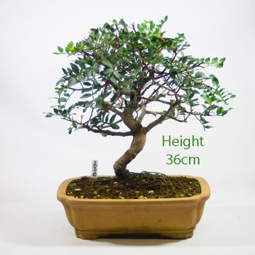 Pistachio Bonsai Tree Number 230 available to buy online from All Things Bonsai Sheffield Yorkshire with free UK delivery