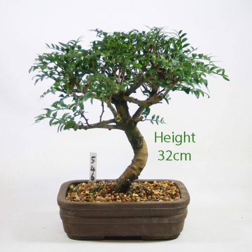 Pistachio Bonsai Tree Number 546 available to buy online from All Things Bonsai Sheffield Yorkshire with free UK delivery