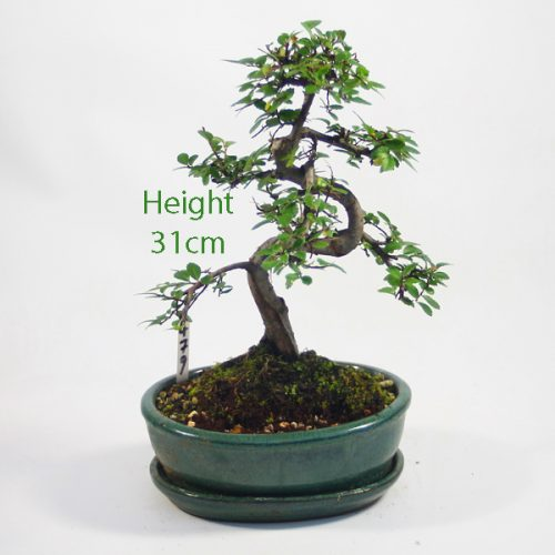 Chinese Elm Bonsai Tree Number 479 available to buy online from All Things Bonsai Sheffield Yorkshire with free UK delivery
