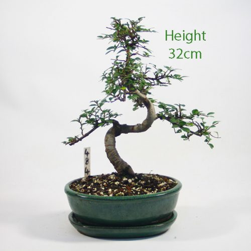 Chinese Elm Bonsai Tree Number 484 available to buy online from All Things Bonsai Sheffield Yorkshire with free UK delivery