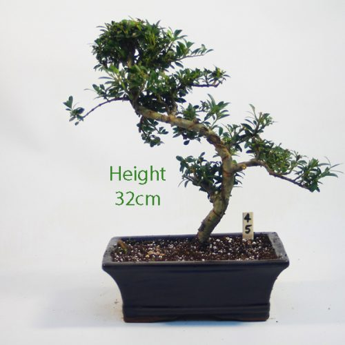 Japanese Holly Ilex Flowering Bonsai Tree Number 45 available to buy online from All Things Bonsai Sheffield Yorkshire with free UK delivery