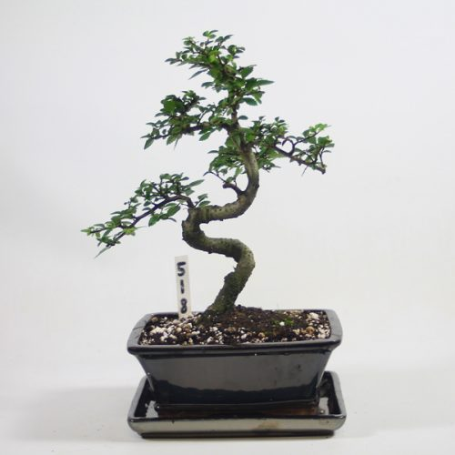 Chinese Elm Bonsai Tree Number 518 available to buy online from All Things Bonsai Sheffield Yorkshire with free UK delivery