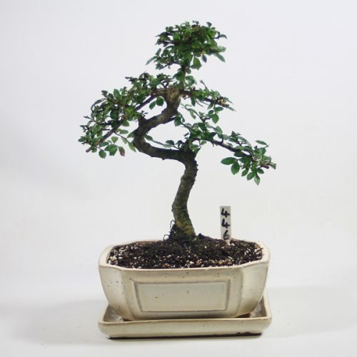 Chinese Elm Bonsai Tree Number 446 available to buy online from All Things Bonsai Sheffield Yorkshire with free UK delivery