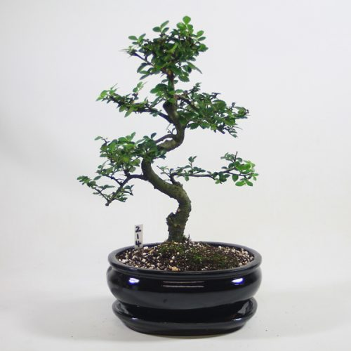 Chinese Elm Bonsai Tree Number 214 available to buy online from All Things Bonsai Sheffield Yorkshire with free UK delivery