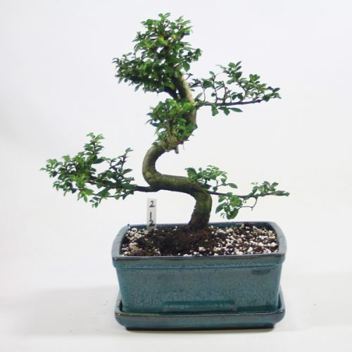 Chinese Elm Bonsai Tree Number 212 available to buy online from All Things Bonsai Sheffield Yorkshire with free UK delivery